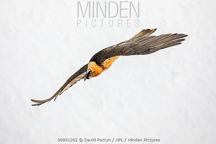 Lammergeier or Bearded Vulture (Gypaetus barbatus) in flight over its snow white winter landscaqpe environment Leukerbad, Wallis, Valais, Switzerland, March