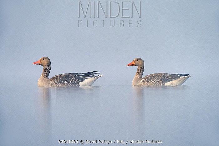 Greylag goose (Anser anser) on a misty morning, Valkenhorst Nature Reserve, Valkenswaard, The Netherlands, May