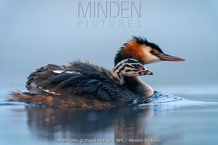 Great crested grebe (Podiceps cristatus) adult with small young chick on the back on a misty morning Valkenhorst Nature Reserve, Valkenswaard, The Netherlands, May