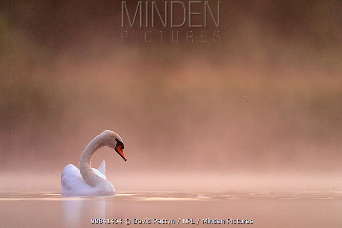 Mute swan (cygnus olor) in the first light in the mist Valkenhorst Nature Reserve, Valkenswaard, The Netherlands, June