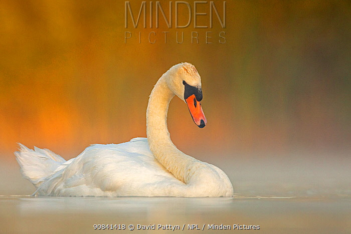 Mute swan (Cygnus olor) adult on a misty morning. Valkenhorst Nature Reserve, Valkenswaard, The Netherlands, August
