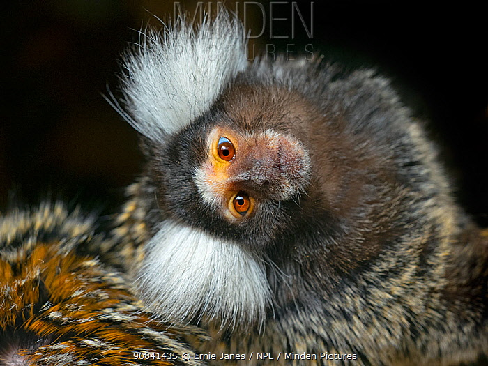 Common marmoset (Callithrix jacchus) with head tilted, captive, occurs in Brazil.