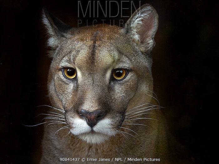 Cougar (Puma concolor) portrait, captive, occurs in Americas. Digitally manipulated