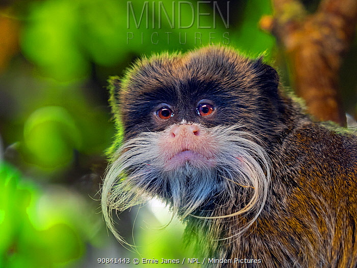 Emperor tamarin (Saguinus imperator ) portrait, captive, occurs in Peru and Bolivia. Green foliage digitally added