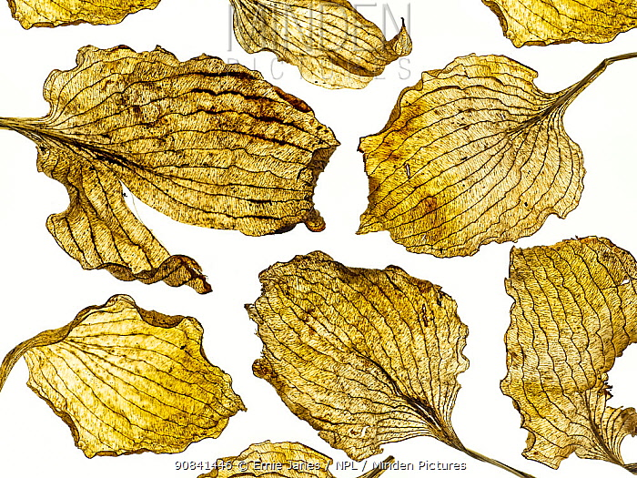 Hosta dead leaves placed on white background