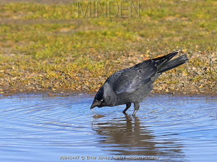 Jackdaw (Corvus monedula) drinking from puddle, Norfolk, England, UK, February