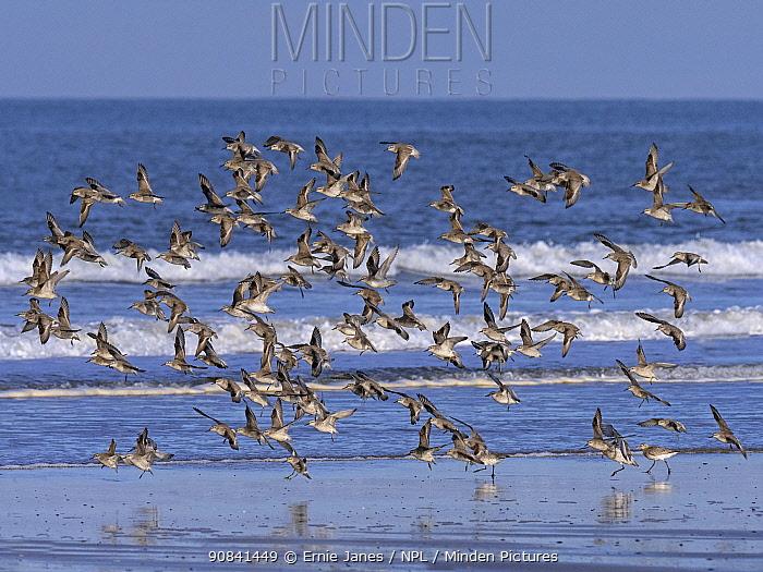 Knot (Caldris canutus) flock in flight on Titchwell beach, Norfolk, England, UK. November.