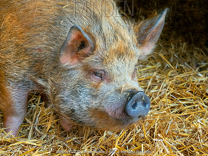 Kunekune (Sus scrofa domesticus) domestic pig from New Zealand