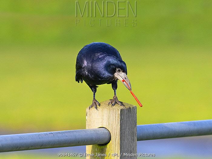 Rook (Corvus frugilegus) eating plastic rubbish, Norfolk, England, UK, November.