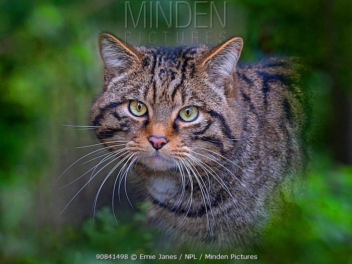 RF - European wildcat (Felis silvestris silvestris) portrait, captive.Green foliage digitally added (This image may be licensed either as rights managed or royalty free.)