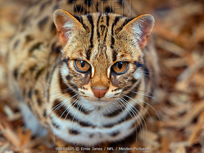 RF - Asian leopard cat (Prionailurus bengalensis) portrait, captive, occurs in South and East Asia. (This image may be licensed either as rights managed or royalty free.)