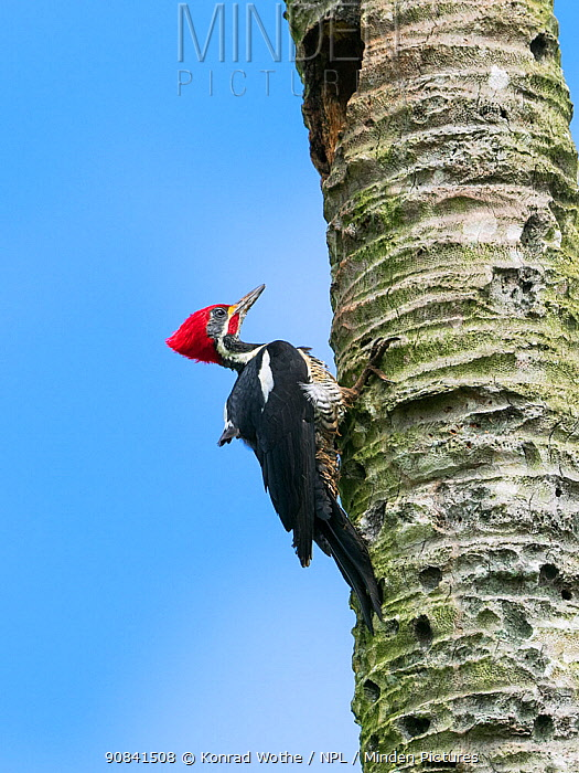 Lineated woodpecker (Dryocopus lineatus lineatus) male, coastal rainforest, Mata Atlantica, Bahia, Brazil.
