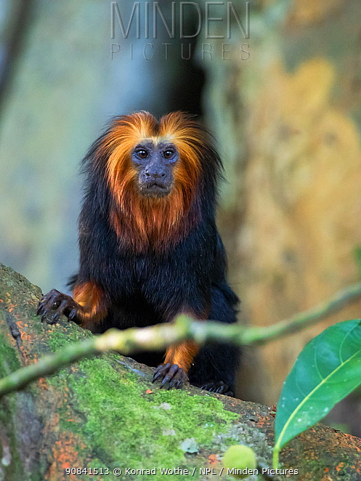 Golden-headed lion tamarin (Leontopithecus chrysomelas) portrait, coastal rainforest, Mata Atlantica, Bahia, Brazil.