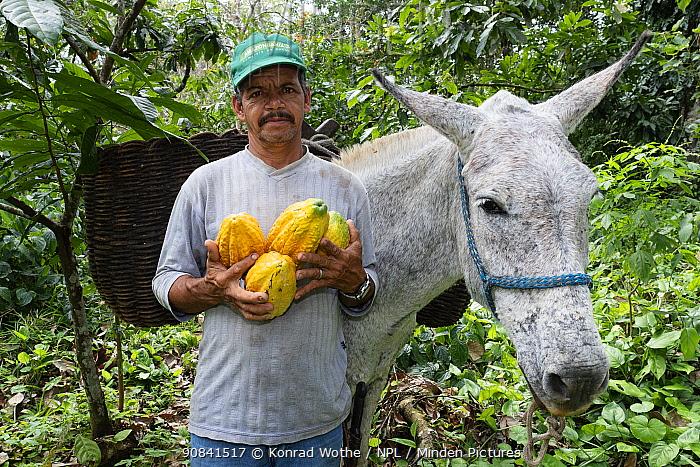 Man harvesting Cocoa pods harvest, with donkey to carry the pods, Almada farm, Mata Atlantica, Bahia, Brazil.