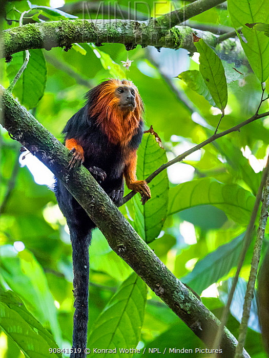 Golden-headed lion tamarin (Leontopithecus chrysomelas) coastal rainforest, Mata Atlantica, Bahia, Brazil.