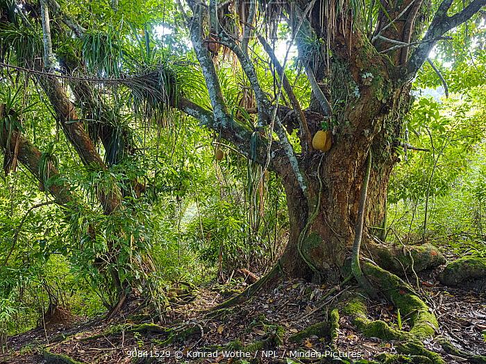 Jackfruit tree (Artocarpus heterophyllus) Coastal Rainforest, Mata Atlantica, Bahia, Brazil.