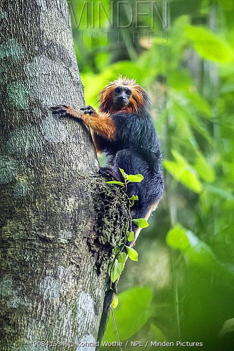 Golden-headed lion tamarin (Leontopithecus chrysomelas) climbing tree, coastal rainforest, Mata Atlantica, Bahia, Brazil.