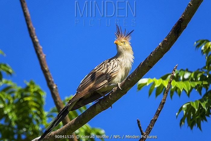 Guira cuckoo (Guira guira,) perched in coastal rainforest, Mata Atlantica, Bahia, Brazil.