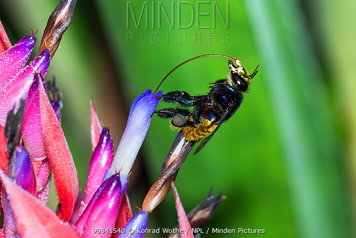 Orchid bee (Euglossa intersecta) feeding on bromeliad flower, rainforest near Manaus, Amazon Basin, Brazil.