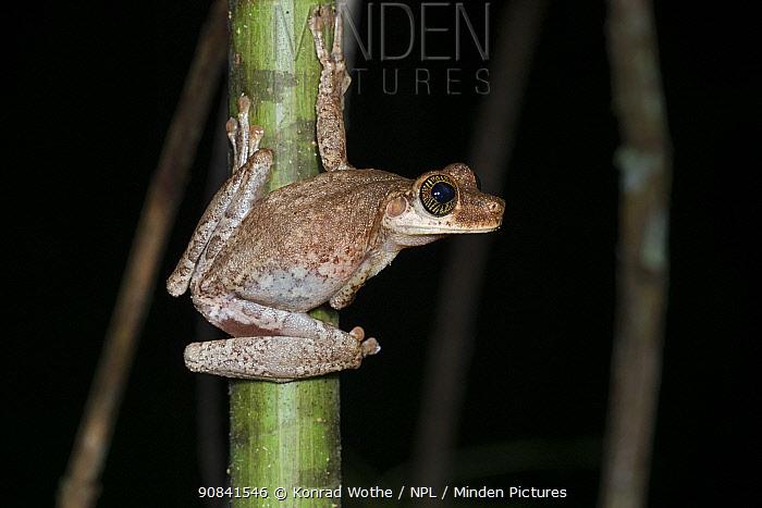 Tropical frog in coastal rainforest, Mata Atlantica, Bahia, Brazil.