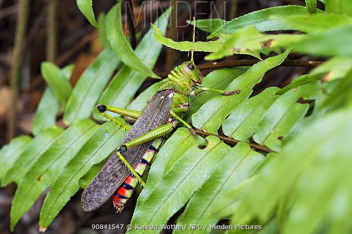 Huge grasshopper in the Amazonian rainforest near Manaus, Amazon Basin, Brazil.