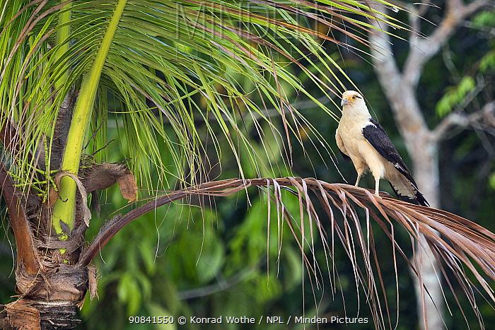 Yellow-headed caracara (Milvago chimachima) rainforest near Manaus, Amazon Basin, Brazil.
