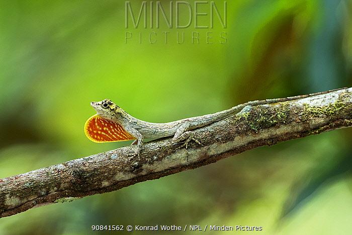 Anolis lizard (Anolis ortonii) with dewlap extended. Amazon Basin, Brazil Sequence 2/2