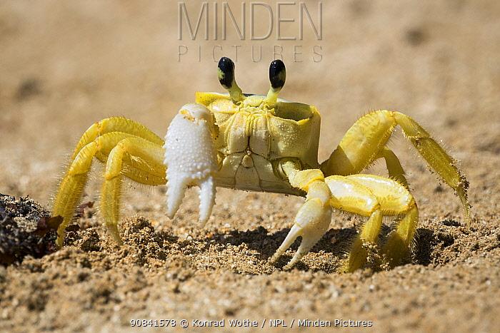 Atlantic ghost crab (Ocypode quadrata) on the beach at its hole, Boipeba Island, Bahia, Brazil.