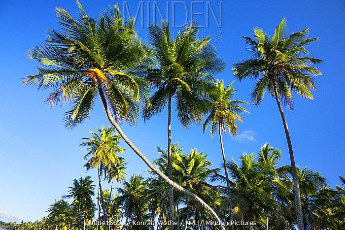 Coconut trees (Cocos nucifera) growing along the coast at Praia da Cueira, Boipeba Island, Bahia, Brazil.