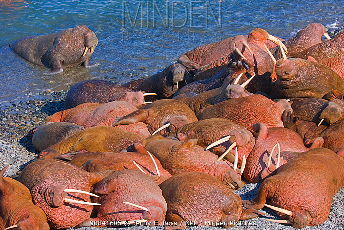 Pacific walruses (Odobenus rosmarus divergens) at a small haul-out on Arakamchechen Island in the Bering Sea, Chukotka, Russia.