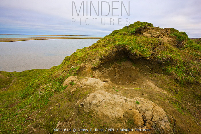 Den of a brown bear (Ursus arctos beringianus) on a hill above the Amguema River estuary, Chukotka, Siberia, Russia. When curled up in this bed, a bear would be protected from the prevailing winds coming off the Chukchi Sea.