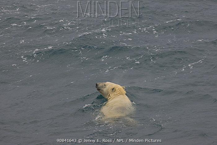 Polar bear (Ursus maritimus) adult female swimming in the Chukchi Sea, Wrangel Island, Russia. August.