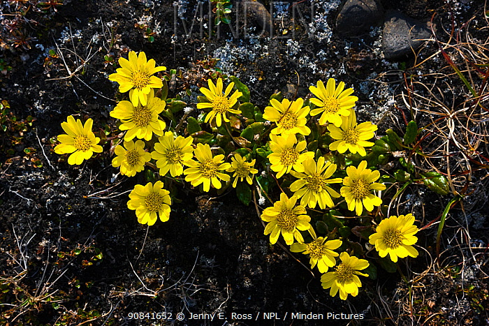 Flowering Groundsel (Senecio atropurpureus), Wrangel Island, Siberia, Chukchi Sea, Russia. August
