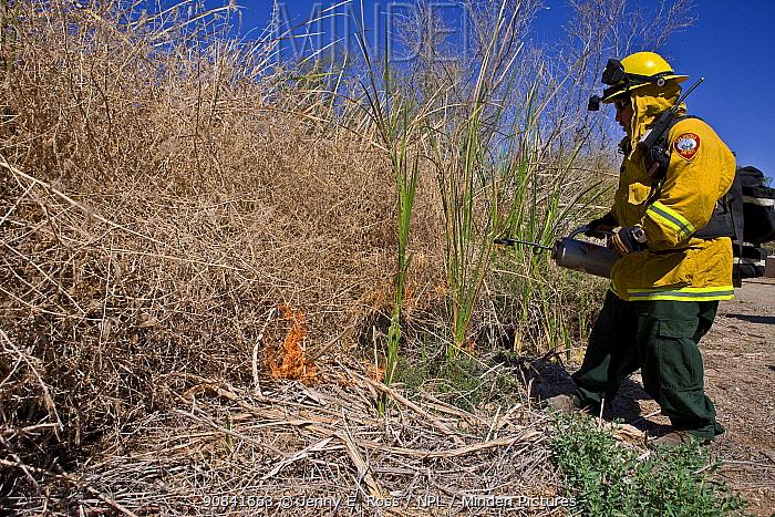 Firefighters starting controlled burn of dense cattail marsh at the Sonny Bono Salton Sea National Wildlife Refuge. Burned as habitat management to benefit the endangered Yuma clapper rail (Rallus longirostris yumanensis) California, USA, March 2009.