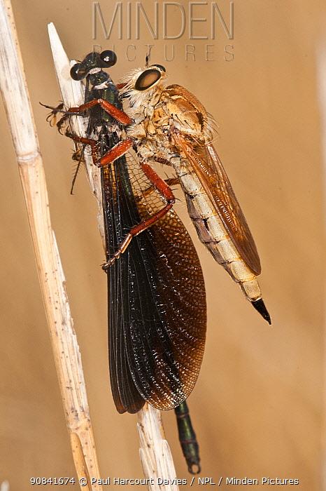 Robber-fly (Asilidae) with  Damselfly (Zygoptera)  prey, Sardinia, Italy, September