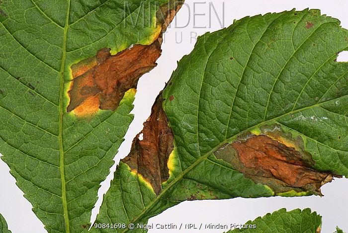 Horse Chestnut Leaf blotch (Guignardia aesculi) on a Horse Chestnut Leaf.
