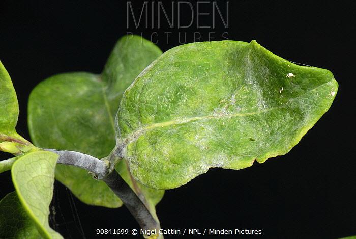 Powdery mildew (Erysiphe lonicerae) on Honeysuckle leaves.
