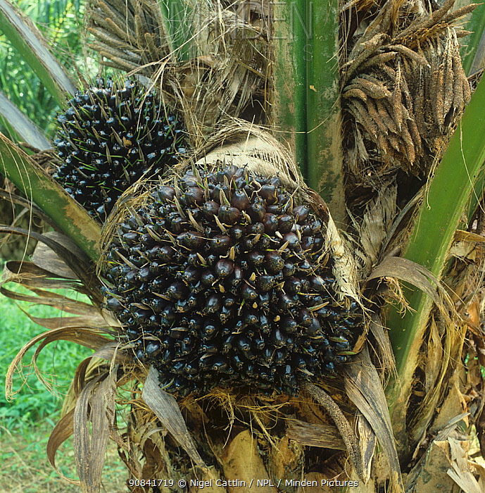 Oil Palm (Elaeis guineensis) with mature fruit before harvesting, Malaysia, January