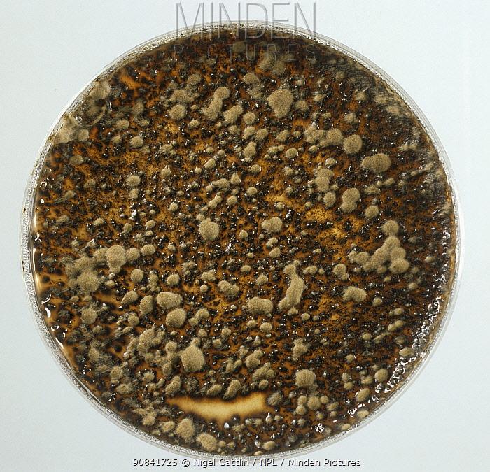 Apple Scab (Venturia inaequalis) fungal culture on agar.
