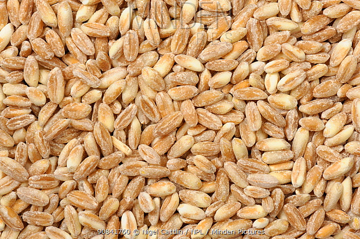 Organic milled Spelt Wheat seeds (Triticum spelta) as sold in health food shops.
