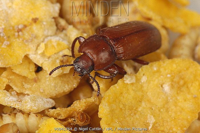 Mealworm (Tenebrio molitor) adult Beetle in stored grain.