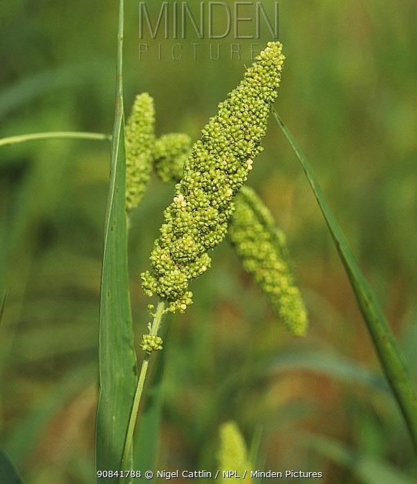 Foxtail millet (Setaria italica) hairless mature ear