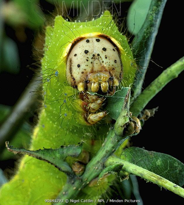 Caterpillar larva of Chinese oak silk moth (Antheraea pernyi) feeding on Oak leaves