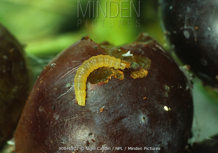Caterpillar larva of European Grapevine moth (Lobesia botrana) on a damaged Grape