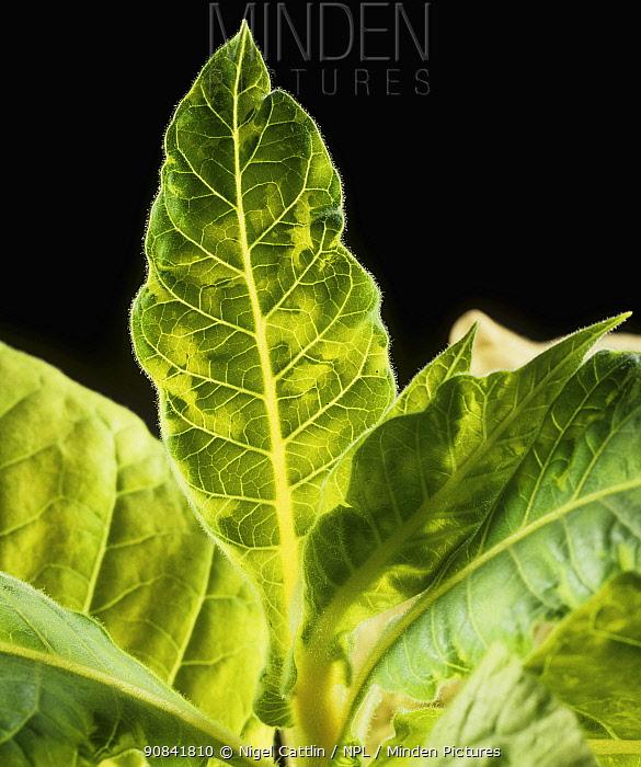 Tobacco Mosaic Virus (TMV) symptoms and chlorosis on backlit Tobacco leaves