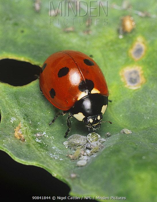 Seven-spot ladybird beetle (Coccinella septumpunctata) feeding on Cabbage aphids (Brevicoryne brassicae).