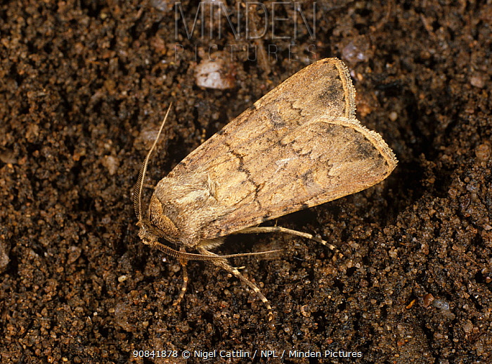 Turnip cutworm (Agrotis segetum) adult Moth on the soil surface