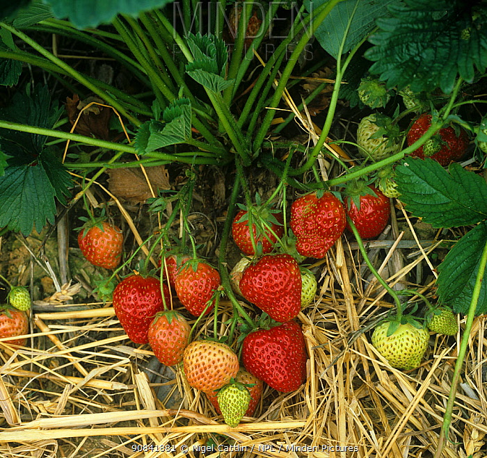 Strawberry (Fragaria sp) fruits ripening with straw mulch between the rows