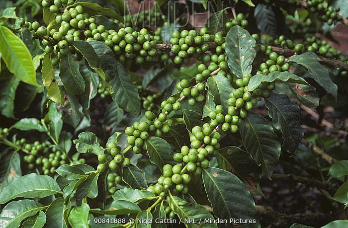 Arabica Coffee branches (Coffea arabica) with developing green fruits, Nairobi, Kenya