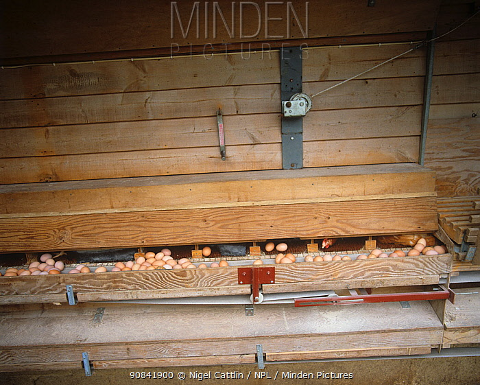 Eggs from free range Chickens (Gallus domesticus) laid onto a conveyor belt in a Chicken house